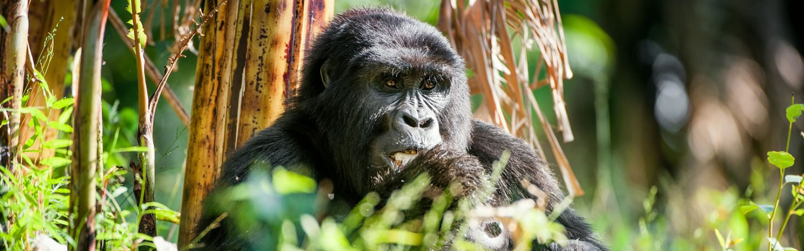 Gorillas and Primates