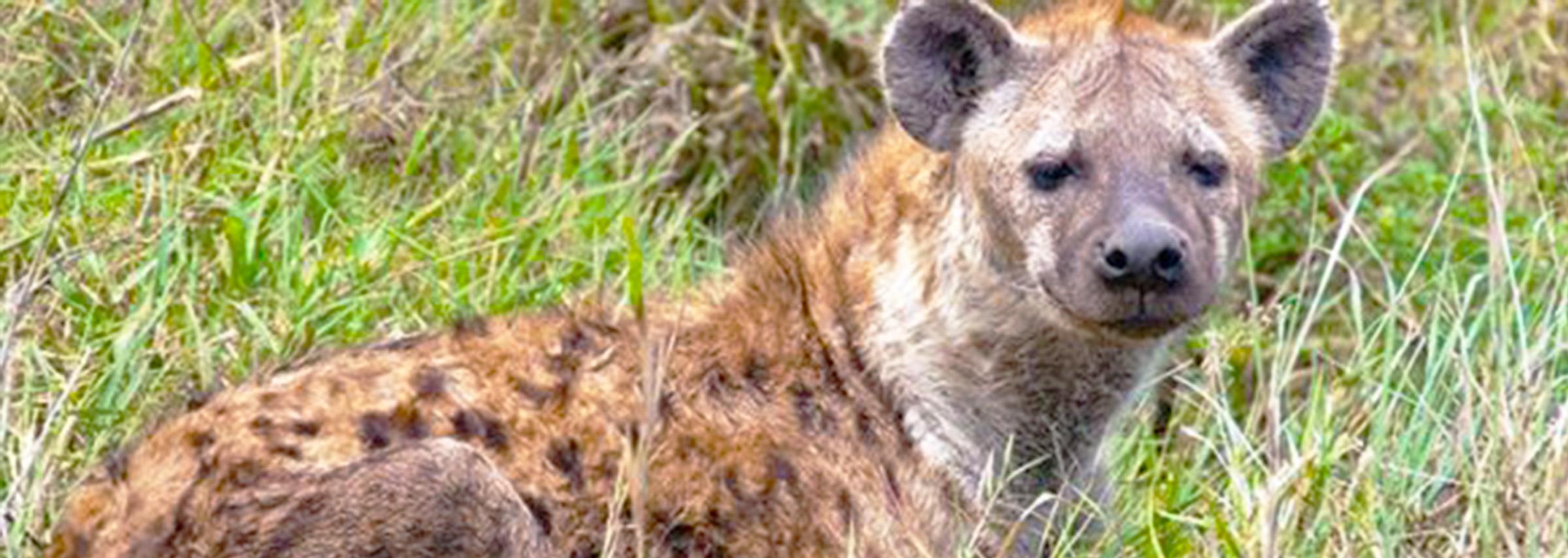 Hyenas The Carnivorous Animals - Uganda Safari Chapter