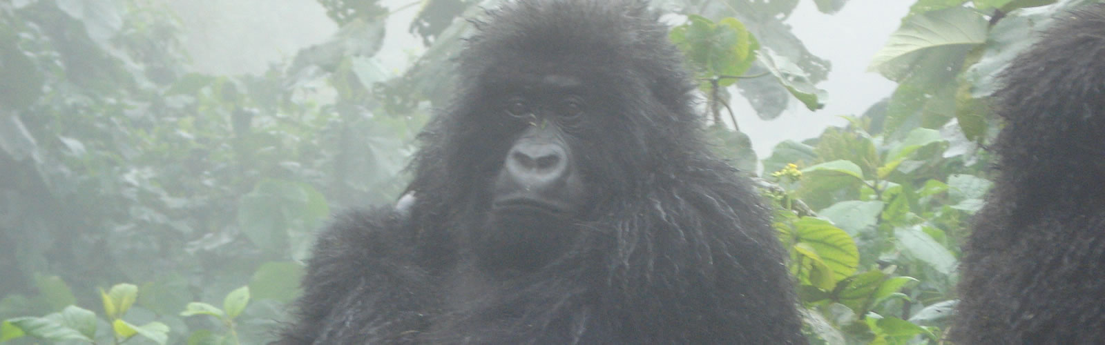 Gorillas in the Mist (4 Days in Rwanda)
