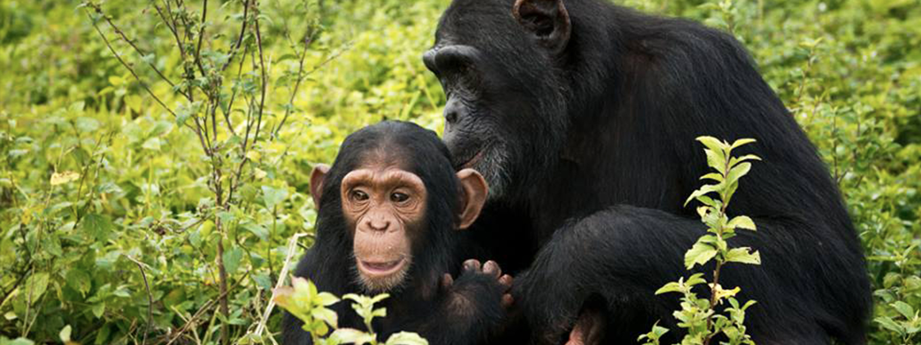 Be Friend A Chimpanzee in one Day